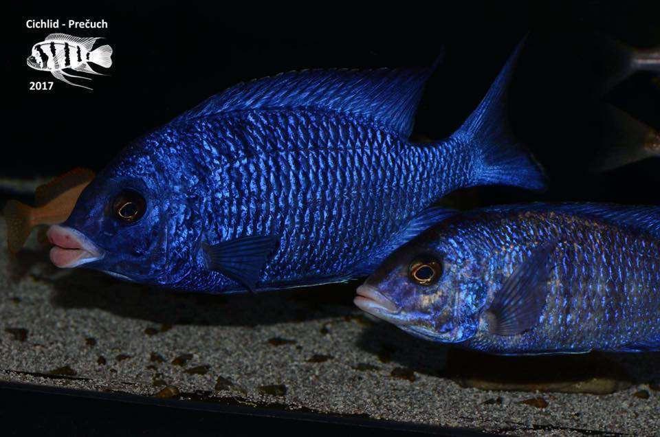 Placidochromis Phenochilus Mdoka