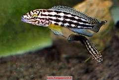 Julidochromis  regani Kagongo
