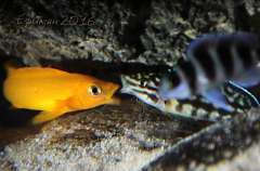 Neolamprologus leleupi(самец) и Julidochromis marlieri(самочка)