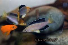 """Cyprichromis sp. """"leptosoma Jumbo Kekese"""""""