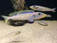 Enantiopus Kilesa WF