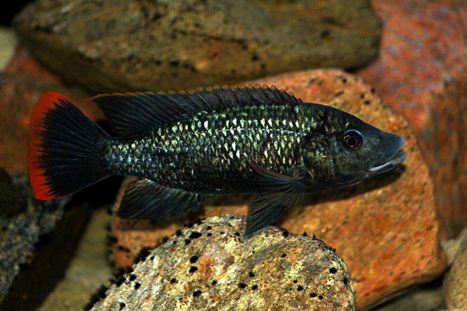 Oreochromis shiranus