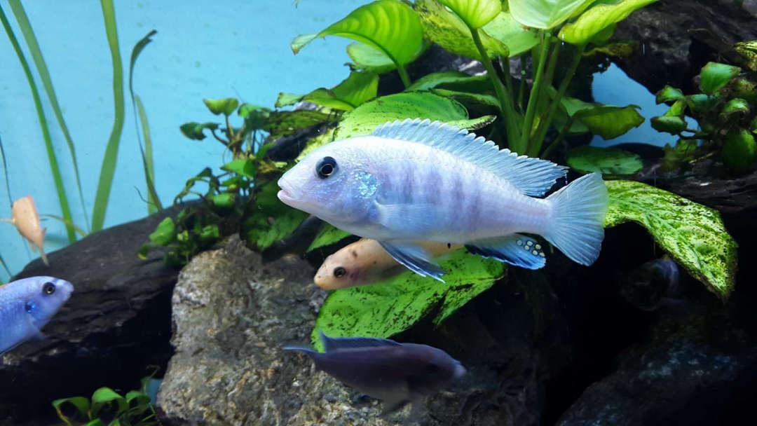 Labidochromis caeruleus  Thumbi Point