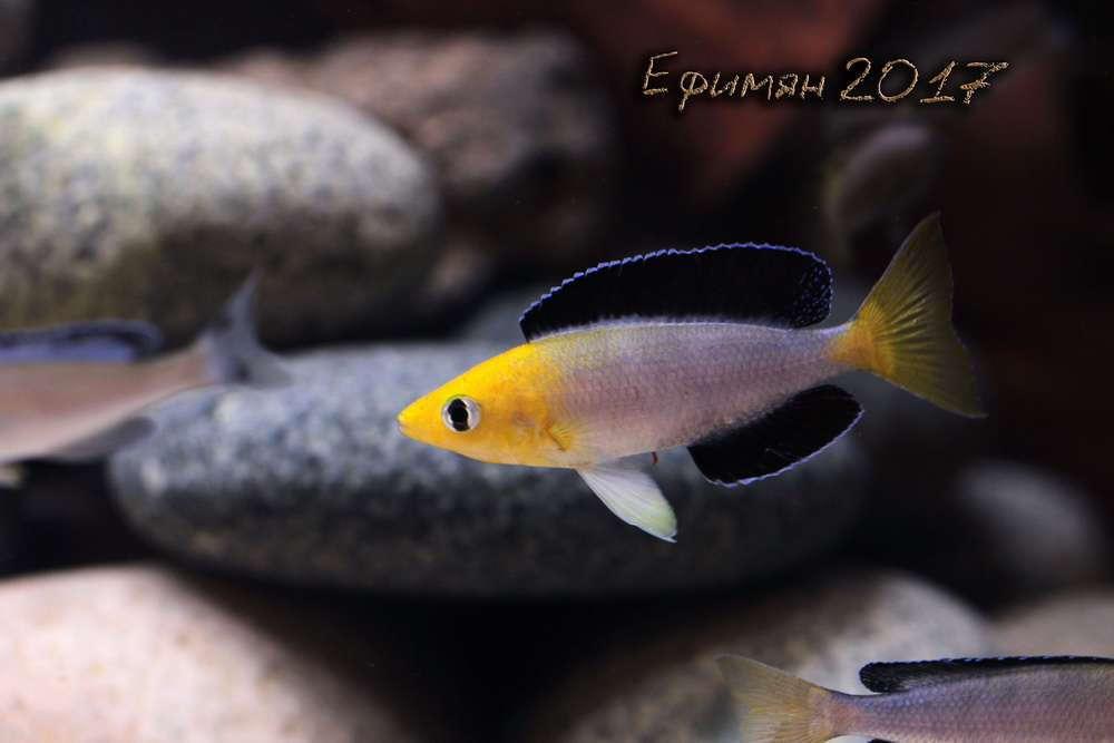 "Cyprichromis leptosoma Jumbo ""Yellow Head"""