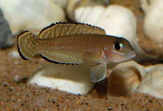 """«Lamprologus» sp. """"ornatipinnis Zambia"""""""