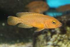 Neolamprologus niger