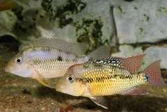 Geophagus sp.Rio Cauca