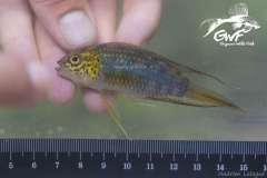 Nannacara aureocephalus, Cayenne River