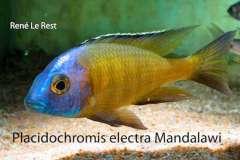 "Placidochromis sp. ""Mbamba"