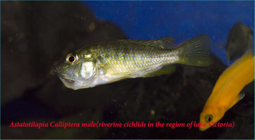 Astatotilapia Calliptera female (riverine cichlids in the region of lake Victoria).jpg
