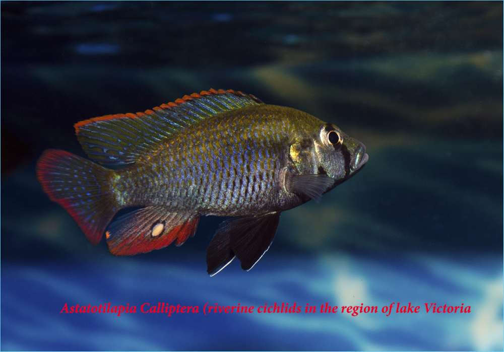 Astatotilapia Calliptera male (riverine cichlids in the region of lake Victoria).jpg