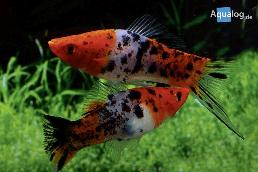 a-xiphophorus-hellerii-koi-var1-paar.jpg