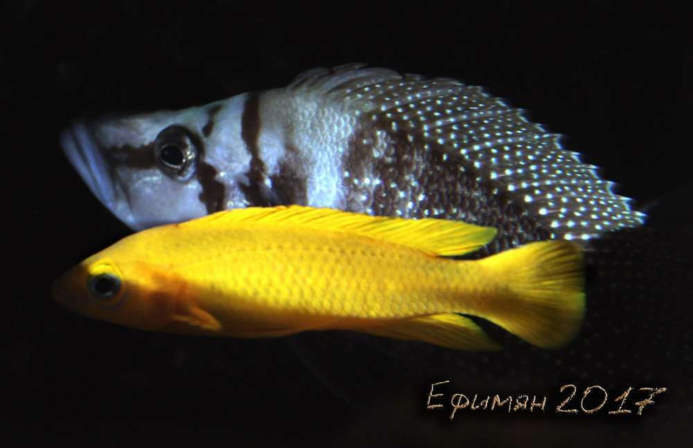 Altolamprologus calvus+Neolamprologus leleupi
