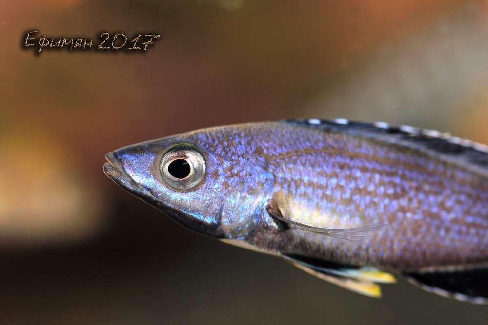 """Cyprichromis sp. """"leptosoma Kitumba""""."""