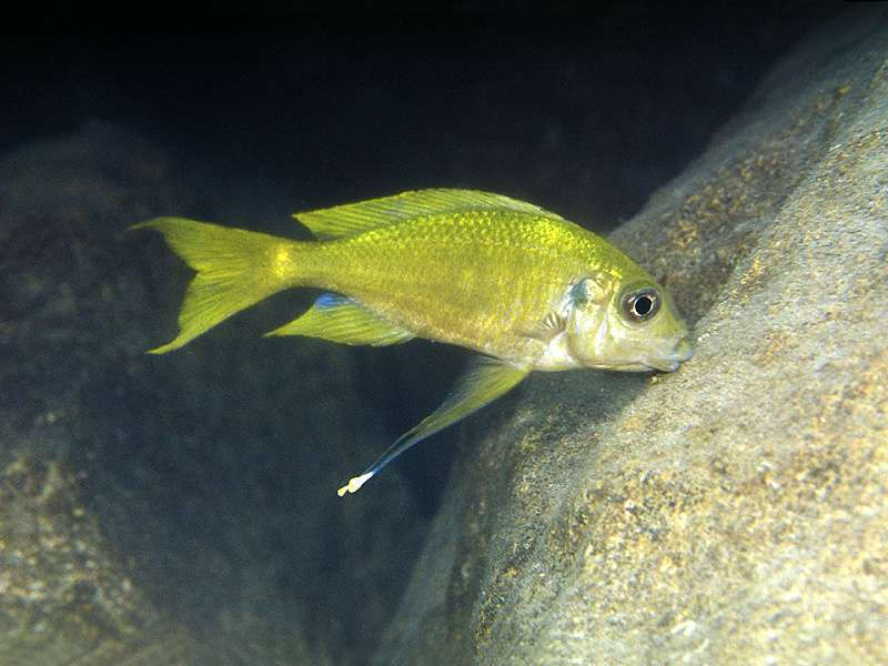 "Ophthalmotilapia ventralis ""Yellow"""