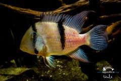 Guianacara sp.Jatapu