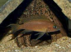 Neolamprologus walteri Bangwe