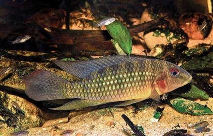 Parananochromis longirostris.jpg