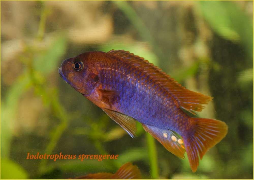Iodotropheus sprengerae male3.jpg