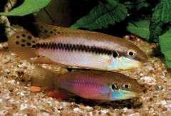 Enigmatochromis Lucanussi