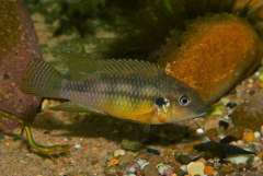 benitochromis finleyi