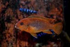 Iodotropheus sprengerae (самка).JPG