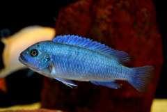 "Metriaclima callainos "" Bright blue"" (самка).JPG"