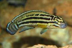 Julidochromis regani gold Sambia