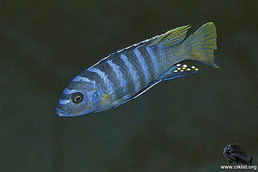 M_sp_zebra_yellow_tail-Lupingu.jpg