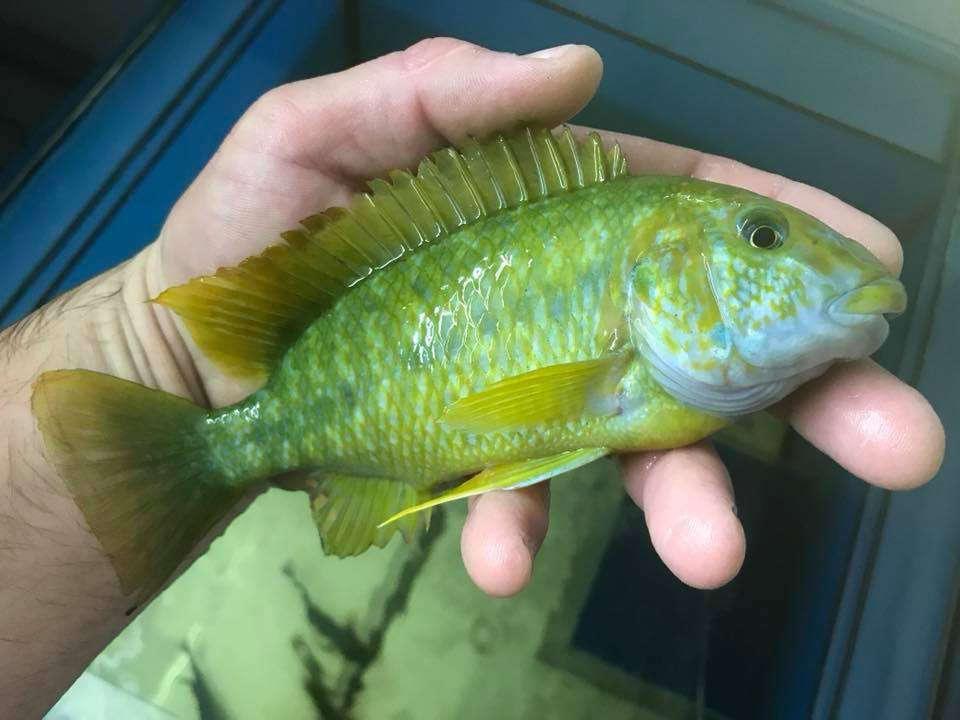 Petrochromis Macrognathus Kasanga