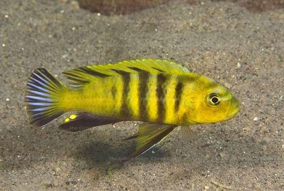 Cynotilapia sp. 'lion'  Sanga