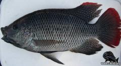 Oreochromis andersonii Okawango