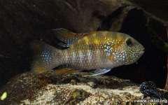 Bujurquina oenolaemus
