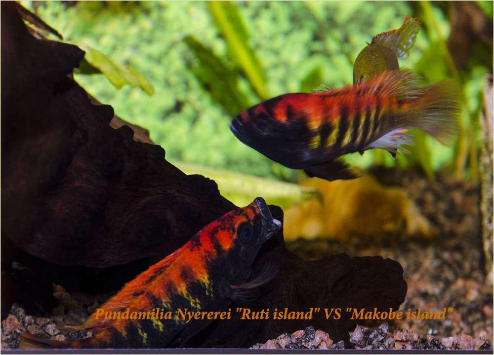Pundamilia Nyererei Ruti island VS Makobe island.jpg