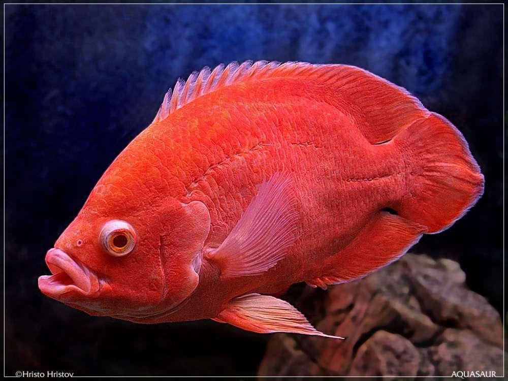 Red Albino Oscar 2.jpg