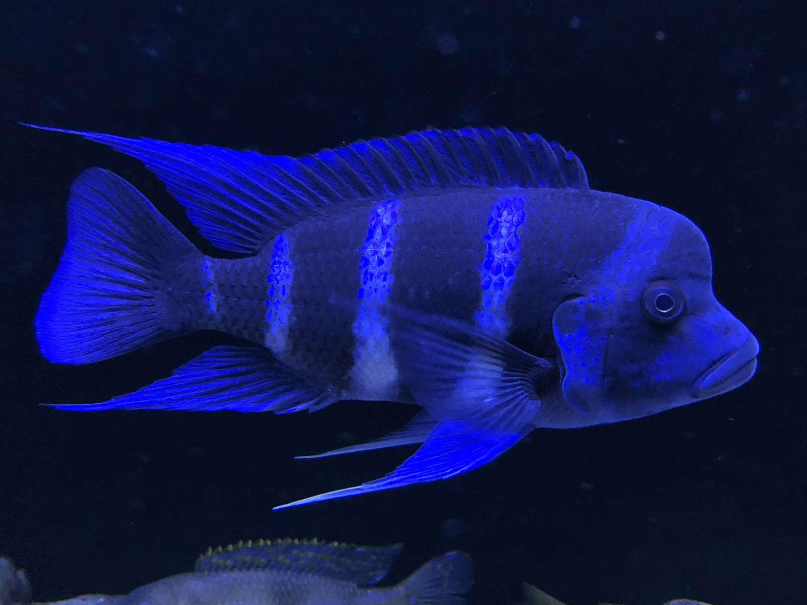 Gibberosa Blue Zaire Moba (wild )