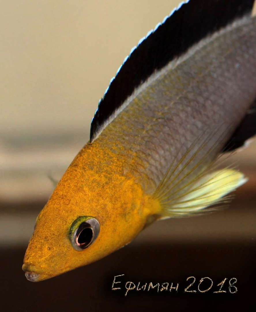 "Cyprichromis leptosoma Jumbo ""Yellow Head"""