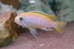 Metriaclima Pyrsonotos  reef Kambiri