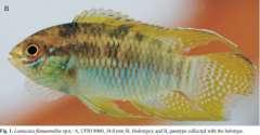 Laetacara flamannellus