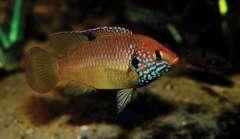 Hemichromis sp Guinea
