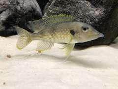 Gnatochromis permaxillaris Chituta