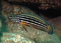 Julidochromis regani