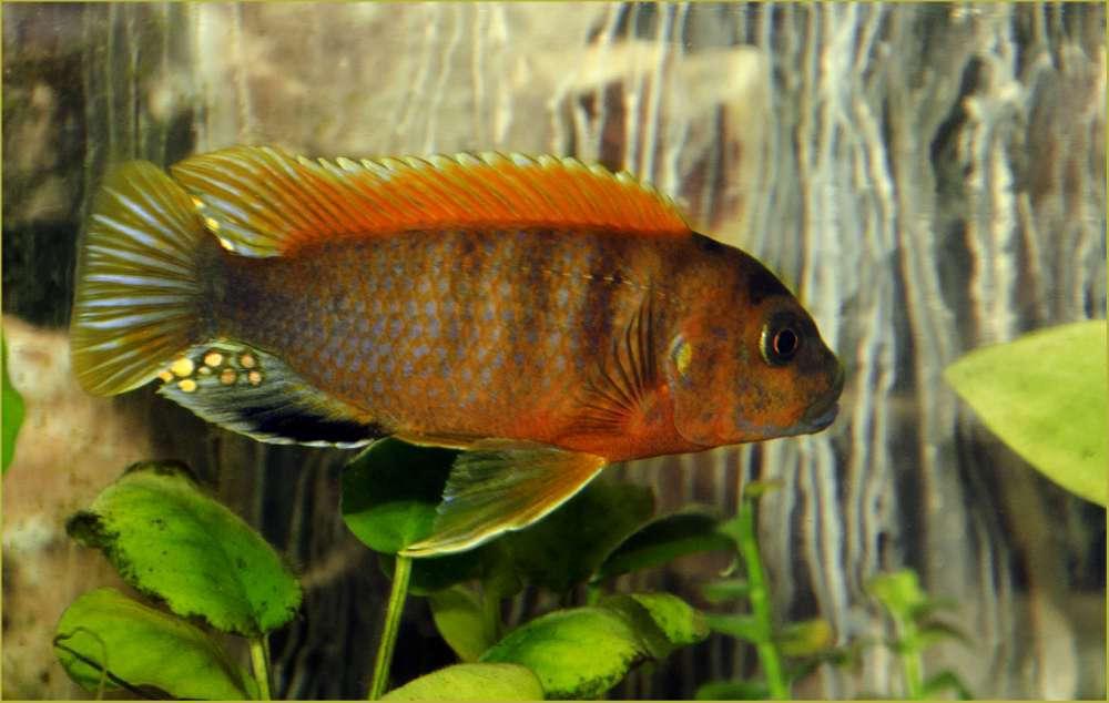 Labidochromis sp.2.jpg