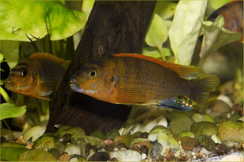 Labidochromis sp.3.jpg