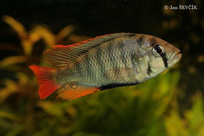 (Haplochromis obliquidens) 3f.jpg