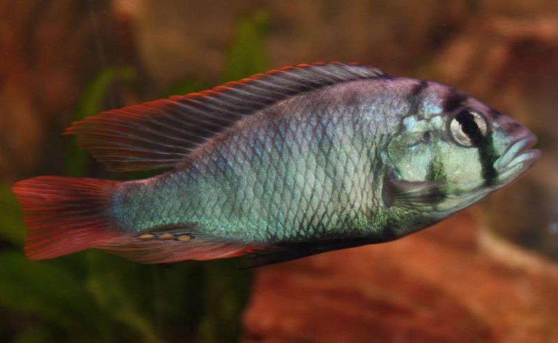 Haplochromis+sp.+-22blue+obliquidens-22.jpg