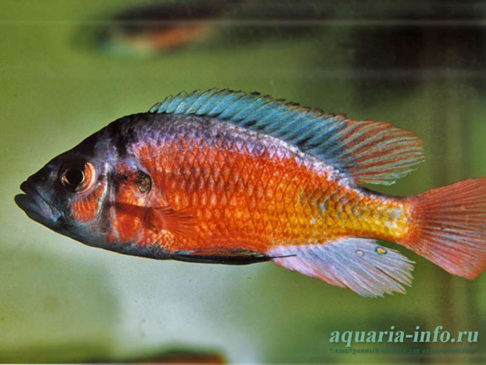 haplochromis-fire-red-1_0.jpg