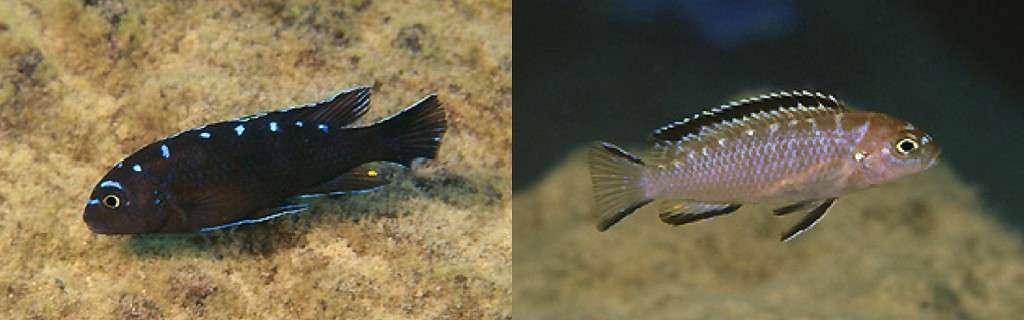 Pseudotropheus sp. 'elongatus spot' Hai Reef