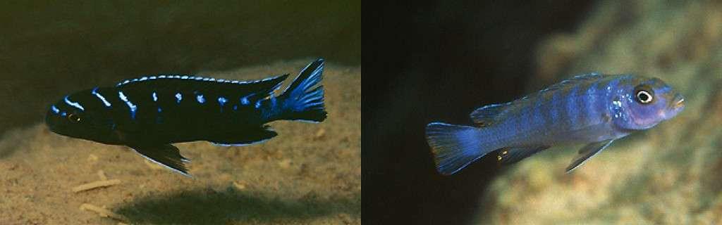 Pseudotropheus sp. 'elongatus ruarwe' Charo