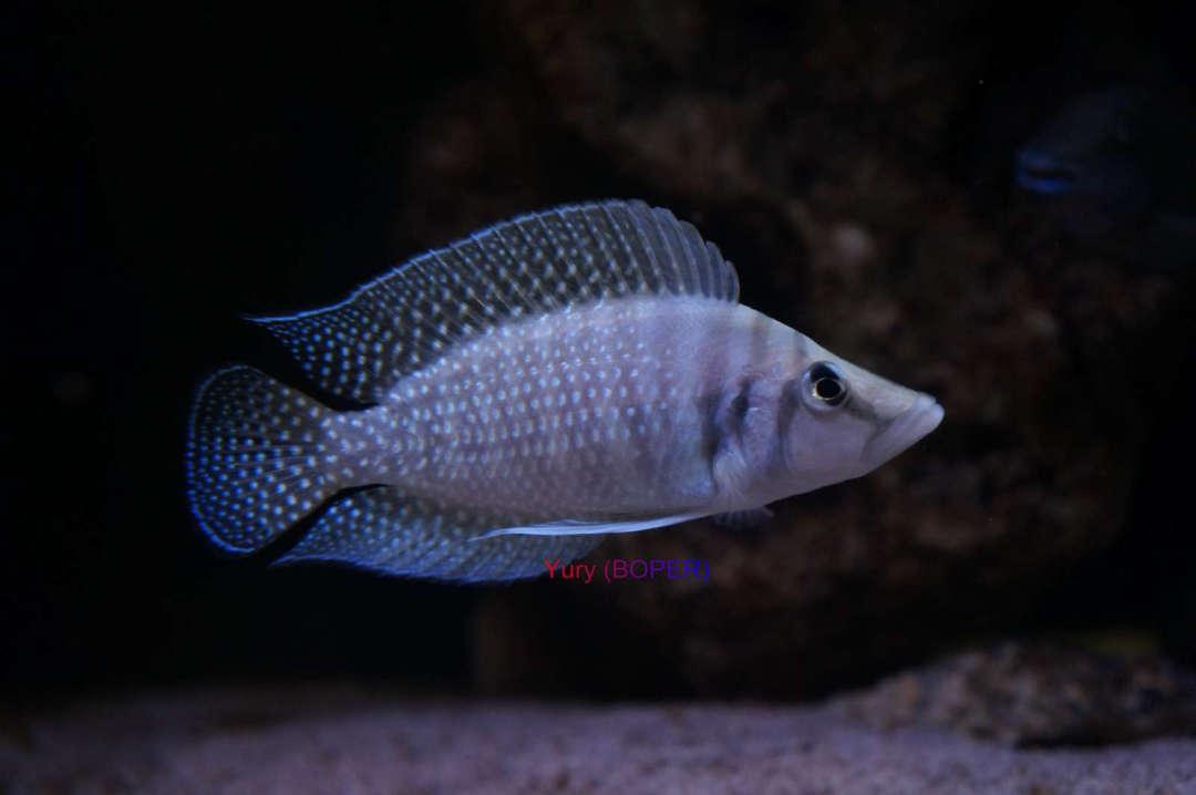 Altolamprologus calvus white Chaitika
